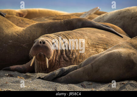 Walrus in a group of walruses on Prins Karls Forland, Svalbard - Stock Photo