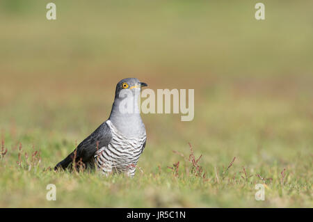 Common cuckoo sat on the ground - Stock Photo