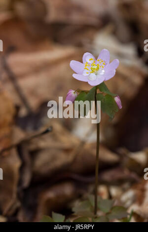 Thalictrum thalictroides with morning dew at Garbry Big Woods Sanctuary - Stock Photo