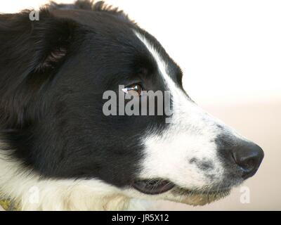 Black and white Border Collie dog with amber eyes close up shots - Stock Photo