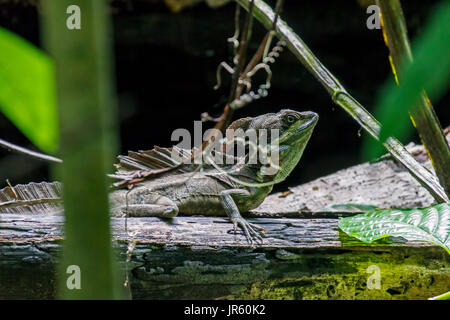 Male Emerald Basilisk Lizard in Puntarenas - Costa Rica - Stock Photo