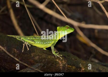 Female Emerald Basilisk Lizard in Tortuguero - Costa Rica - Stock Photo
