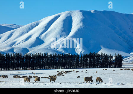 Sheep, Hawkdun Range and snowy farmland, near Oturehua, Maniototo, Central Otago, South Island, New Zealand - Stock Photo