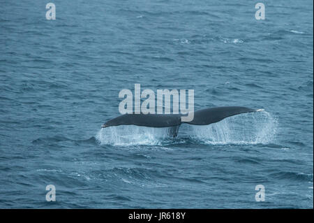 A rare Bowhead Whale shows its fluke whilst swimming. Arctic Ocean, Svalbard. - Stock Photo