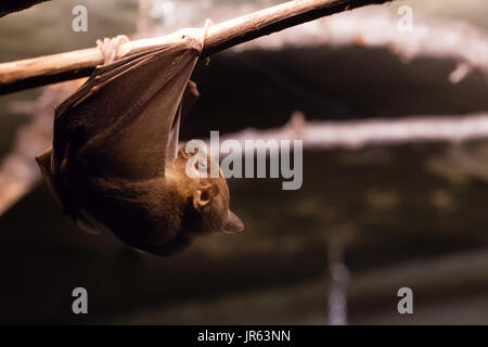 Egyptian Fruit Bat (Rousettus aegyptiacus) This bat is climbing along a branch - Stock Photo