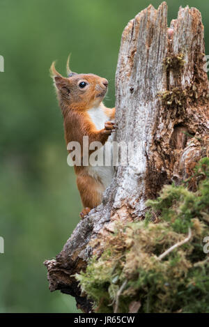 Detailed study close photograph or a red squirrel climbing up an old log tree in upright vertical format - Stock Photo