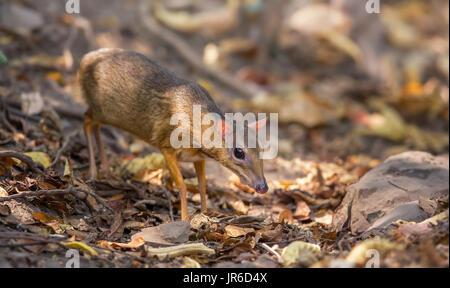 Wild Lesser Mouse Deer (Tragulus kanchil), Kaeng Krachan, Thailand - Stock Photo