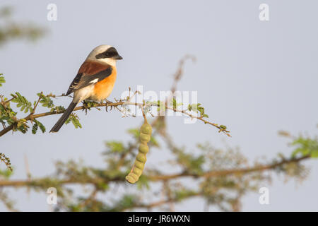 bay-backed shrike (Lanius vittatus) in grasslands of Pune - Stock Photo