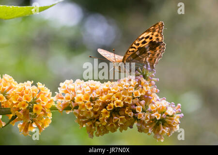 Silver washed fritillary butterfly, Argynnis paphia, feeding on the globular flower heads of the hardy hybrid shrub, - Stock Photo