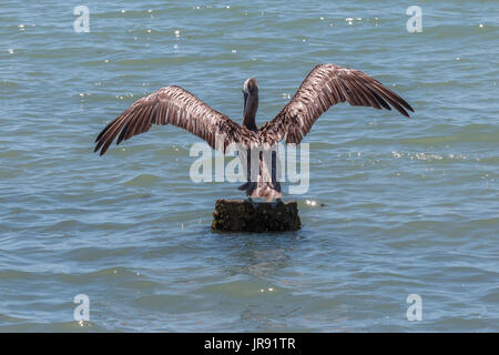 Pelican Standing on Pillar with Wings Wide Open - Stock Photo
