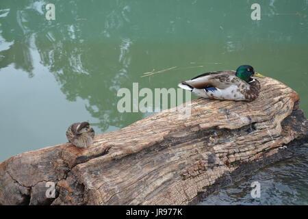 sitting ducksMallard ducks sitting on a in a pond - Stock Photo