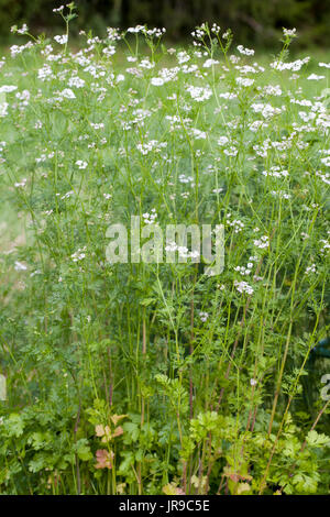 Coriander (Coriandrum sativum) - Stock Photo