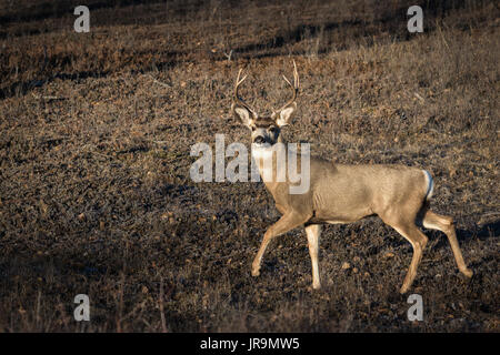 A mature Mule deer (Odocoileus hemionus) buck on the prairies of Saskatchewan, Canada - Stock Photo