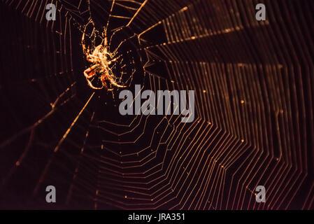 Illuminated Spotted Orbweaver (Neoscona crucifera) spider and web against a black night sky. - Stock Photo