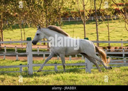 Gray Mangalarga Marchador Stallion in Brazil - Stock Photo