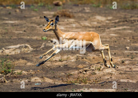 Common impala in Kruger national park, South Africa ; Specie Aepyceros melampus family of Bovidae - Stock Photo