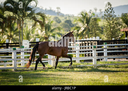Mangalarga Marchador stallion in Brazil - Stock Photo