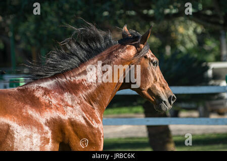Mangalarga Marchador stallion in Brazil - Stock Photo