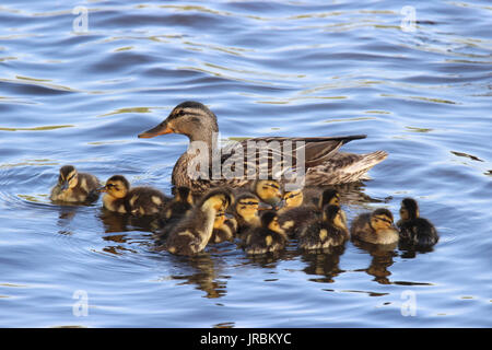 A mother mallard swimming on a pond with her family of ducklings - Stock Photo
