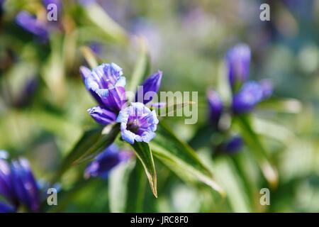 Gentiana verna flower near Czarny Staw Gasienicowy lake - Stock Photo