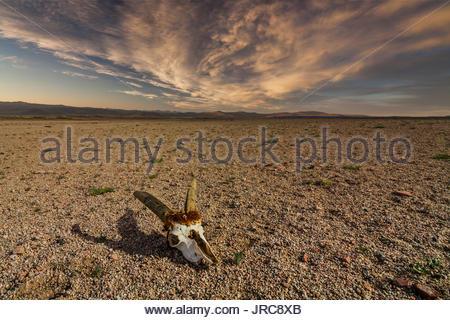 Skull of roe deer on stony ground in the desert. Namibia, Africa - Stock Photo