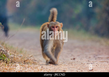 rhesus macaque (Macaca mulatta) walking in on the path inside Bharatpur Bird Sanctuary, Rajasthan, India - Stock Photo