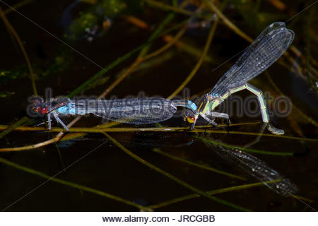 A pair of red-eyed damselflies mating. - Stock Photo