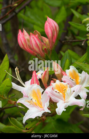 Western azalea (Rhododendron occidentale), Otter Point State Park, Oregon - Stock Photo