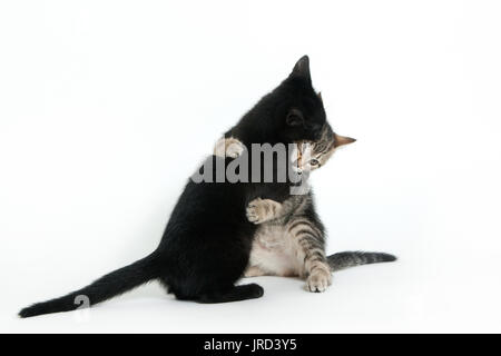 portrait of two kittens hugging each other in studio set up - Stock Photo