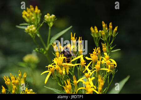 Bumblebee on a yellow flower in the Black Forest, Germany - Stock Photo
