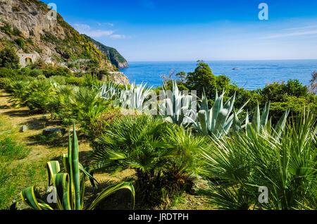 Cactus garden along the Via dell'Amore (The Way of Love), Riomaggiore, Cinque Terre, Liguria, Italy - Stock Photo