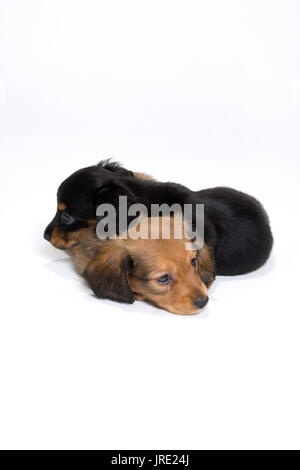 Two dachshund puppies one black one brown sleeping on top of each other in white sheets - Stock Photo