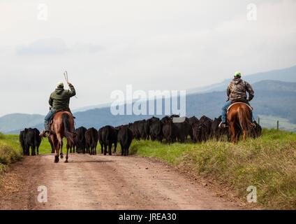 HI00395-00...HAWAI'I - The Parker Ranch crew moving cattle along the Waimea Mana Road on the island of Hawai'i. - Stock Photo