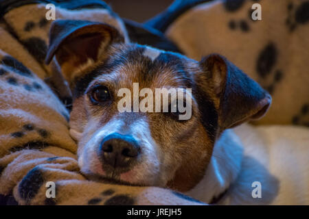 Jack Russell - Stock Photo