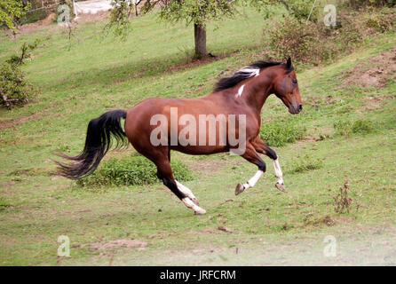 pied horse pinto colored galopp powerful free in meadow. Side view. Summer with bright colors - Stock Photo