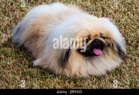 Purebred Pekingese puppy pet dog resting on grass - Stock Photo