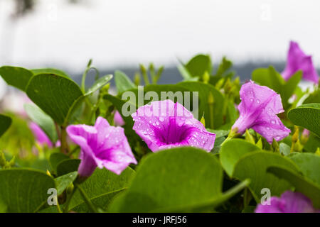 drop of water from rain stuck on flower of beach morning glory - Stock Photo