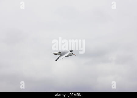White seagull against a cloudy sky background - Stock Photo