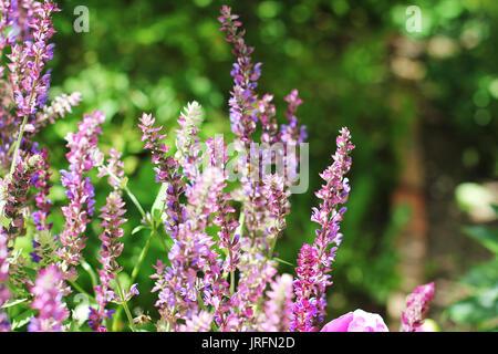 Willow-herb purple flower in the garden - Stock Photo