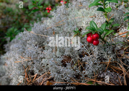 berry cranberries and moss in the forest - Stock Photo