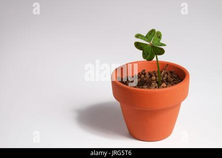 Four-leaf clover planted in a clay pot - Stock Photo