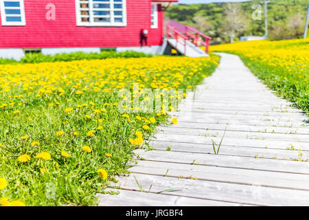 Closeup of wooden path and yellow dandelion flowers in meadow field in front on red house - Stock Photo
