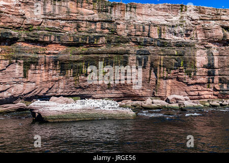 Flock of gannet birds perched and flying by Bonaventure island cliff in Perce, Gaspesie, Gaspe region of Quebec, - Stock Photo