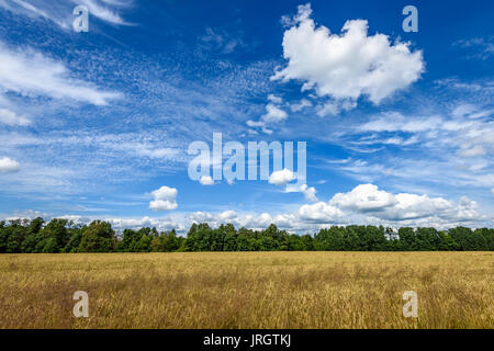 lonely old dry tree against blue sky in the field of wheat - Stock Photo