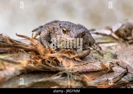 Amphibian, Common British Toad / Frog Stock Photo