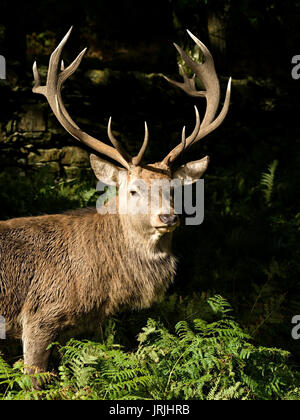 Large red deer stag (Cervus elaphus) with crown of magnificent antlers, sunlit against dark background, Charnwood - Stock Photo
