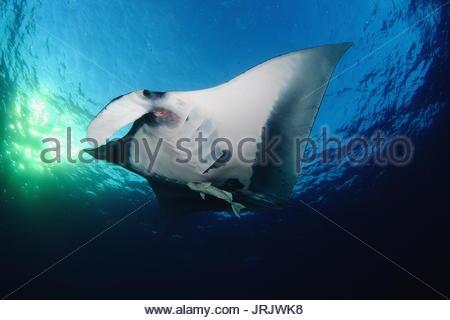Mexico - Socorro Islands - Manta Ray -Manta Birostris - Stock Photo