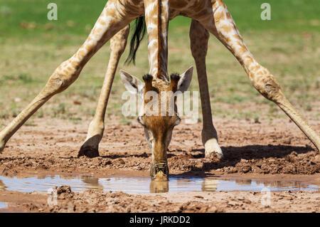 Southern Giraffe (Giraffa giraffa), female drinking at rainwater pool, rainy season with green surroundings, Kalahari - Stock Photo