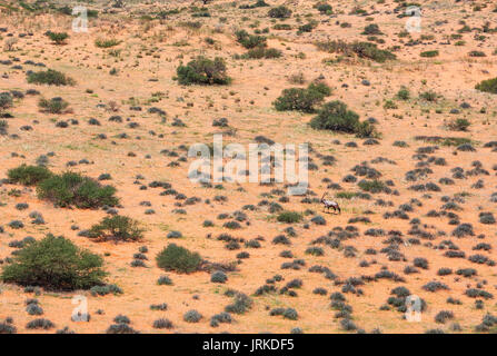 Gemsbok (Oryx gazella) in the vast Kalahari Desert, rainy season with some green grass, Kgalagadi Transfrontier - Stock Photo