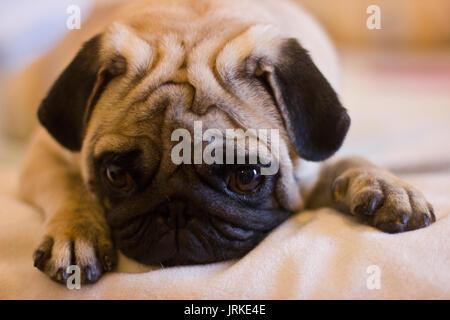 Upset puppy pug - Stock Photo